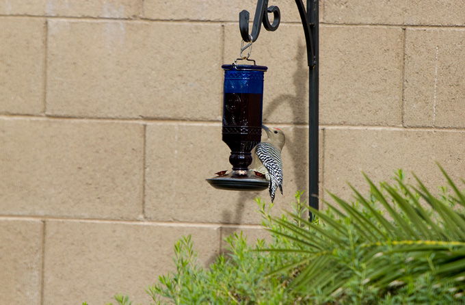 Gila woodpecker on the hummingbird feeder