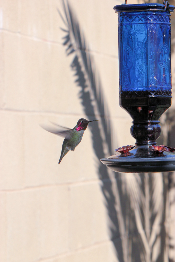 Hummingbird close up with fuchsia head by feeder