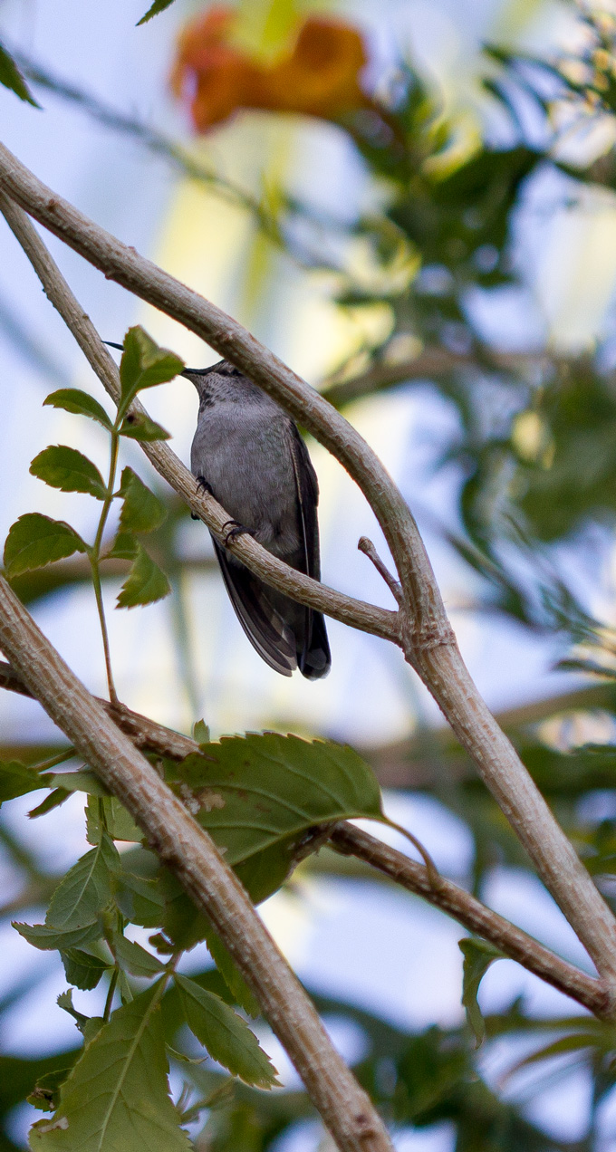 Gray hummingbird between branches
