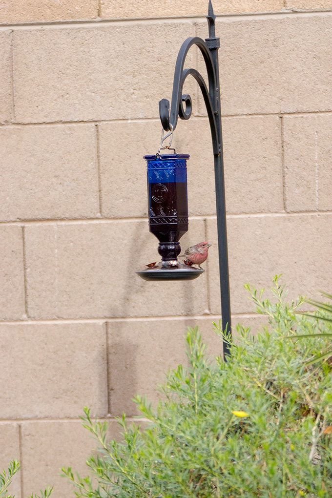 Raspberry finch on hummingbird feeder