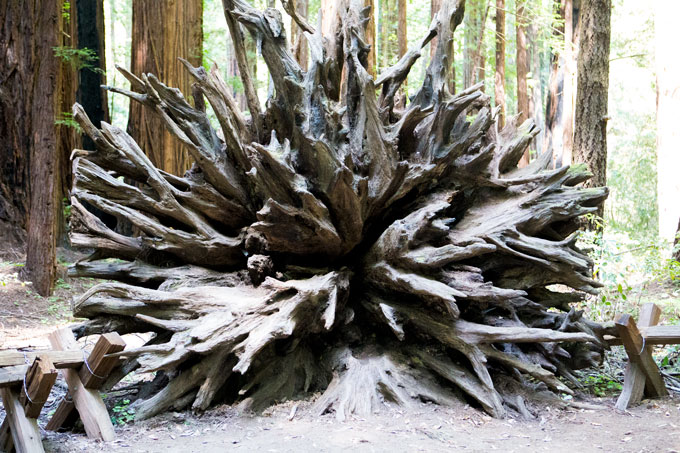 Northern California Armstrong Redwoods State Natural Reserve root system