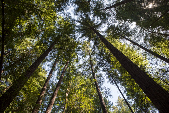 Northern California Armstrong Redwoods State Natural Reserve, looking up at canopy