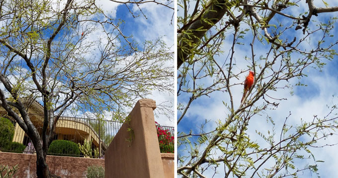 Cardinal in a tree in two views, the second a closeup of the first